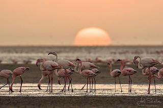 Flamingos at Sunset, in #swakopmund , #namibia (c) Joel Santos. Taken with a #eos7dmarkii + #ef100400ii with an EF 1.4 Extender. #liveforthestory #canonportugal #canoneurope #travelphotographer #travelphotos #travelworld #storyteller #amazing_shots #amazi