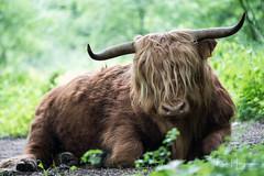 Highlander portrait (PaulHoo) Tags: nikon d750 nature forest woods amsterdamse bos animal scottish highlander schotse hooglander cow horn lazy calm portrait 2018