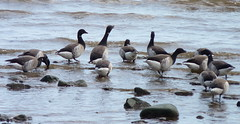 Brant (Dendroica cerulea) Tags: brant brantabernicla branta anserinae anatidae anseriformes galloanserae neognathae neornithes carinatae aves bird goose beach bay spring raritanbay morganavenuemudflats morganmudflats raritanbaywaterfrontpark southamboy middlesexcounty nj newjersey