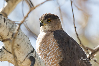 Closeup of a Cooper's Hawk