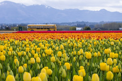 Tulips and a Bus (s.d.sea) Tags: tulips skagit valley tulip festival flowers flower floral grow nature plant plants garden farm field cloudy pnw pacificnorthwest washington washingtonstate mount vernon landscape pentax k5iis colorful roozengaarde spring april travel