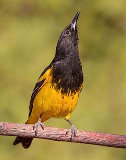 Scott's Oriole (male)