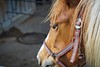 DSC04712 (daniaebi) Tags: fell frühling horse luzern pancolar50 pferd spring