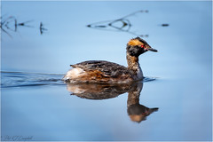Horned Grebe (soupie1441) Tags: london ontario canada nikon d7200 horned grebe westminster ponds