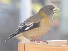 Evening grosbeak (Coccothraustes vespertinus), female (tigerbeatlefreak) Tags: evening grosbeak coccothraustes vespertinus bird passeriformes fringillidae nebraska