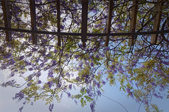 紫藤花 - Wisteria flowers (basaza) Tags: canon 760d 紫藤花 dxo