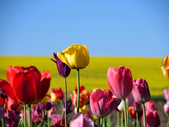 tulip and rape (norbert.wegner) Tags: flower tulip rape