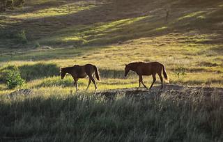 ridge horses