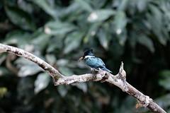 Martin-pêcheur d'Amazonie  Amazon Kingfisher (Le Méhauté Sébastien) Tags: martinpêcheur damazonie chloroceryle amazona amazon kingfisher amazonie forest jungle