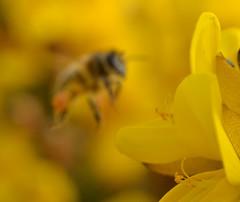 in the gorse {explored} (conall..) Tags: desenfoque honeybee gorse outoffocus flower bee closeup raynox dcr250 macro county down tullynacree nw551041 annacloy field ulex europaeus bush shrub scrub apis mellifera apismellifera arty