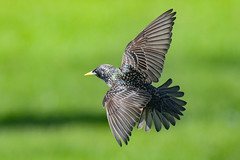winging it (Paul Wrights Reserved) Tags: starling bird birding birdphotography birds birdwatching birdinflight