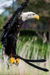 Prepare for landing (tomaszbaranowski007) Tags: bird avifauna vogel colors color nature natuur nikon tamron fly
