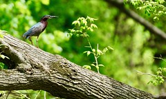 A 'Green Heron' (Butorides virescens), perched on a log next to a river (Curiously Captivating Creatures) Tags: butorides virescens green heron illinois wildlife summer season log river tree bird