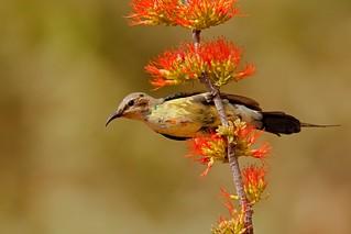 Beautiful Sunbird, young male