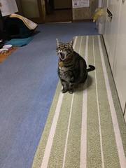 """That was tiring..."" (sjrankin) Tags: 12may2018 edited animal cat tigger floor kitchen yawn yubari hokkaido japan"