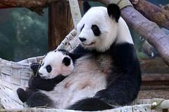 Happy Mothers Day! (smileybears) Tags: zooatlanta panda pandacub pandatwins giantpanda bear xilun yalun lunlun mother mothersday mom