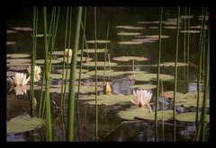 in search of the frog prince (B. Blue) Tags: slidersunday nationalparkdonauauen pflanzen lobau österreich teich blume natur seerose austria flower nature pond hss waterlily wien at