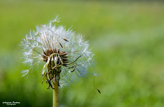 Dandelion seed head (andyp178) Tags: dandelion plant nature spring fairys bokeh sigma seeds nikon