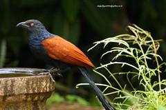 IMG_4498 Greater Coucal (Centropus sinensis) (vlupadya) Tags: greatnature greater coucal aves fauna indianbirds centropus kundapura karnataka