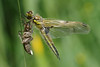 Emerging Four Spot 14 (Hugobian) Tags: emerging dragonfly dragonflies four spotted chaser insect nature fauna wildlife macro pentax k1 paxton pits