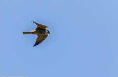 9Q6A2832 (2) (Alinbidford) Tags: alancurtis alinbidford birdofprey brandonmarsh hobby nature wildbirds wildlife