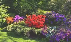 Les rhododendrons (Diegojack) Tags: d7200 lausanne ouchy vaud suisse parc denantou couleurs printemps rhododendrons