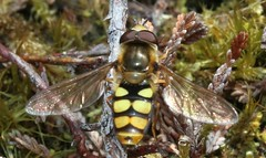 (3) syrphidae (BSCG (Badenoch and Strathspey Conservation Group)) Tags: acm insect diptera hoverfly syrphidae heathland woodlandedge