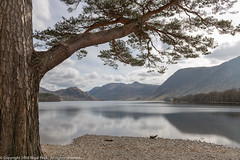 Mature Scots Pine on the edge of Crummock Water (Pexpix) Tags: scotspine landscape pine serene lakedistrict nationalpark trunk cumbria 攝影發燒友 lake fir crummockwater trees lanthwaite scenic reflection nationaltrust lph sky bark texture clouds water mountain buttermere england unitedkingdom gb