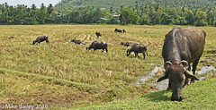 Water Buffalo at Work! (MWBee) Tags: waterbuffalo ricepaddy fields rice horns water srilanka mwbee nikon d750 nationalgeographicwildlife birds cranes