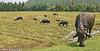 Water Buffalo at Work! (MWBee) Tags: waterbuffalo ricepaddy fields rice horns water srilanka mwbee nikon d750 nationalgeographicwildlife birds cranes