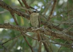 Female Rose-throated Becard (slsjourneys) Tags: becard rosethroatedbecard tubacaz