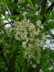Black Locust (Dendroica cerulea) Tags: blacklocust robiniapseudoacacia robinia robinieae faboideae fabaceae fabales plant legume branches tree flower plants flowers spring ayresbeach redsmarina highlandpark middlesexcounty nj newjersey