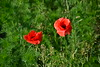 Red poppy on a natural green carpet (echumachenco) Tags: poppy flower blossom petal red plant grass green nikond3100 macro soil field garden bee insect animal