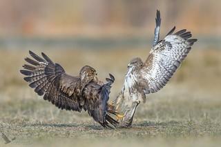 Myszołowy, Common Buzzard (Buteo buteo) ...