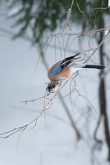 Garrulus glandarius (kenta_sawada6469) Tags: bird birds nature winter japan aves wildlife snow corvidae mountain