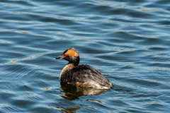 2017 Horned Grebe 5 (DrLensCap) Tags: south pond nature boardwalk at lincoln park zoo chicago illinois horned grebe il bird duck robert kramer