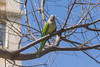 Monk Parakeet (bertrandwaridel) Tags: 2018 april barcelona barcelone catalogne catalonia catalunya cataluña espagne monkparakeet myiopsittamonachus quakerparrot spain spring bird catalogna