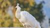 Albino Peafowl (Arturo Nahum) Tags: peacock peafowl albino pavoreal arturonahum