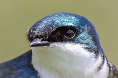 Tree Swallow portrait (tresed47) Tags: 2018 201804apr 20180428extonparkbirds april birds canon7d chestercounty content extonpark folder pennsylvania peterscamera petersphotos places season spring swallow takenby treeswallow us ngc npc