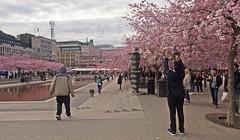 April 30 - the cherry blossoms of Kings Garden in Stockholm (Franz Airiman) Tags: cherry körsbär träd tree kungsan kungsträdgården kingsgarden stockholm sweden scandinavia körsbärsträd sakura cherryblossom park stadspark citypark körsbärsblomma