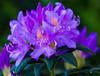 Flowers. (ost_jean) Tags: rhododendron garden flowers nikon d5300 tamron sp 90mm f28 di vc usd macro 11 f004n ostjean azalea rododendron belgique belgie belgica belgium