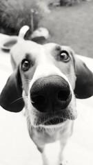 NoseWithDog (BphotoR) Tags: dog nose huge bphotor hund nase bw