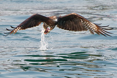 黑鳶 (Black Kite): Olympus E-M1 MkII / Leica DG Vario-Elmar 100-400mm f/4-6.3 O.I.S (ansel.ma) Tags: 鷹 eagle 黑鳶 blackkite olympusem1mkii leicadgvarioelmar100400mmf463ois
