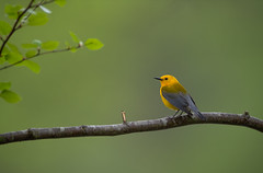 Prothonotary Warbler (nikunj.m.patel) Tags: warbler prothonotarywarbler nature wild wildlife spring beautiful nikon nikond850 swamp birds avian bird naturephotography