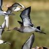 Black tailed Godwit Marshside RSPB F00198 D210bob  DSC_6584a (D210bob) Tags: black tailed godwitmarshside rspbf00198d210bobdsc6584anikon d7200bird photographybird photosnature photographynature photosnikonnikon 200500 f56wildlife photography lancashire