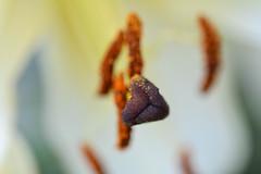 Mariage blanc (Mylene Gauthier) Tags: 2016 août blanc canada couleur fleur flore jardinsetdeslys jaune lumière macro montérégie mylenegauthier nikond7100 orange paletteestivale paysagemacrocospique québec verchères été