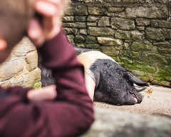 Pig (B Hutchison) Tags: xt1 pig farm wall nature moss stone pen beamish museum