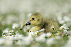 Bed Of Daisies (Hugobian) Tags: chicks young nature wildlife fauna pentax k1 fairlands valley park lake goose canada gosling goslings
