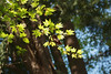 japanese maple (annapolis_rose) Tags: japanesemaple ubc vancouver campus tree mapleleaves