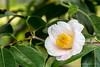 20180203_028 (Thorndike.ar) Tags: camelliajaponica cologne deutschland europa europe flora germany kamelie kamelienausstellung köln nordrheinwestfalen northrhinewestphalia strauch